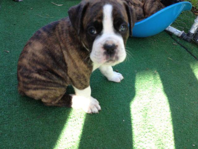 Akc Champion Lines Euro Boxer Puppy Flashy Brindle Male