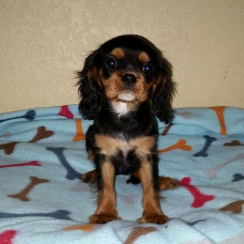 Congratulate, Adult cavalier king charles spaniels for sale not pleasant