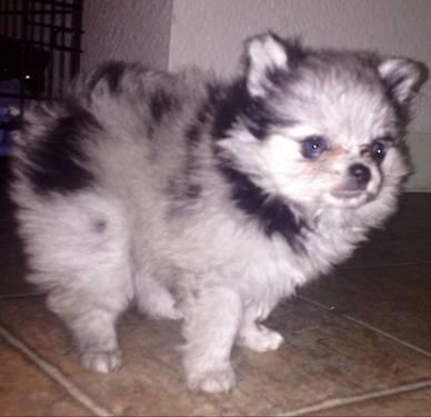 **AKC Champion sired Blue Merle Female Pomeranian With