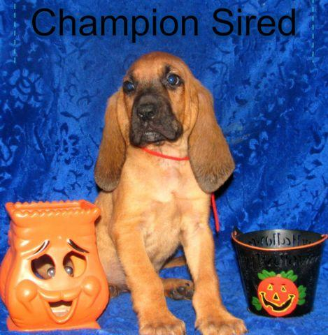 AKC CHAMPION SIRED Police k-9 trackers too