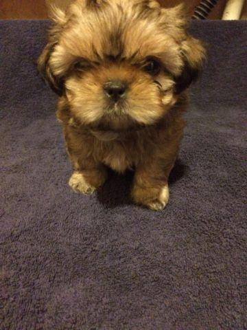 Akc Champion Sired Shih Tzu Puppies For Sale In Tallahassee Florida
