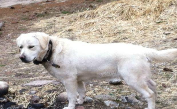 Akc Championship Bloodline White Labrador Puppies