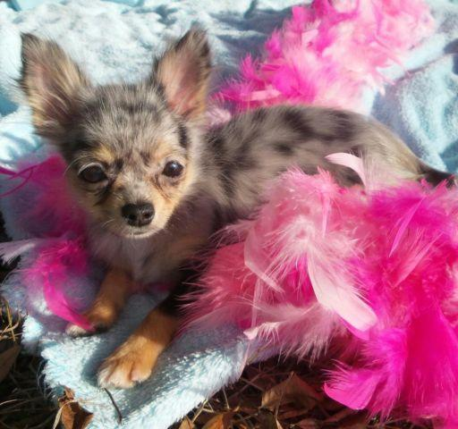 blue merle chihuahua for sale akc chihuahua blue merle longcoat female puppy for sale 6408