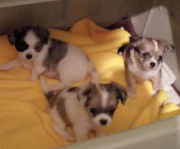 chihuahua for sale in pa akc chihuahua puppies for sale in erie pennsylvania 8859