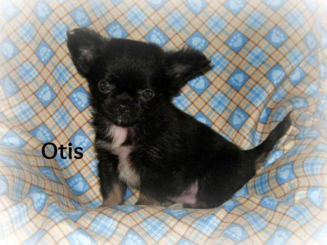 chihuahua puppies michigan akc chihuahua puppies for sale in grand rapids michigan 5045