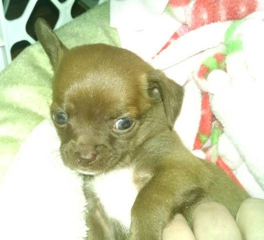 Chihuahua Puppies for Sale in Iowa, IA - PuppyFind.com