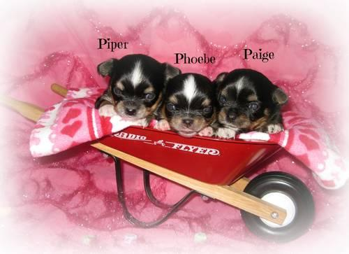 AKC Chihuahua Puppies Champion Lines