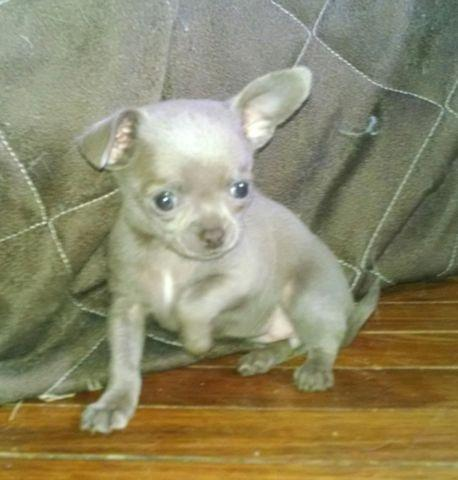 Chihuahuas for Sale in Des Moines | Dogs on Oodle Classifieds