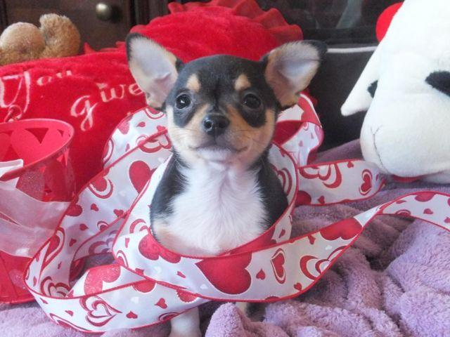 Teacup Chihuahua Puppies For Sale In Ohio Classifieds Buy And Sell