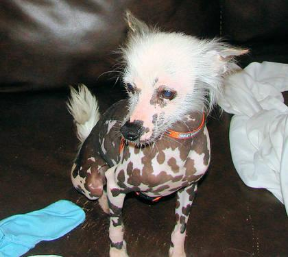 Akc Chinese Crested Puppies For In