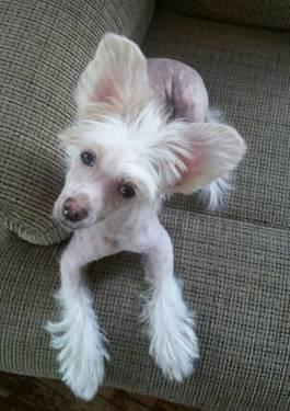 AKC Chinese Crested puppies hhl & pp