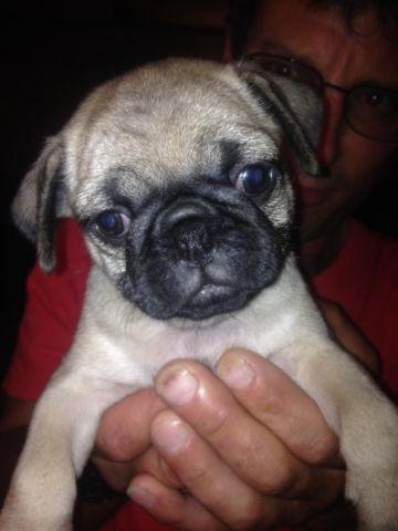 akc pug puppies for sale akc chinese pug puppies for sale in tacoma washington 2384