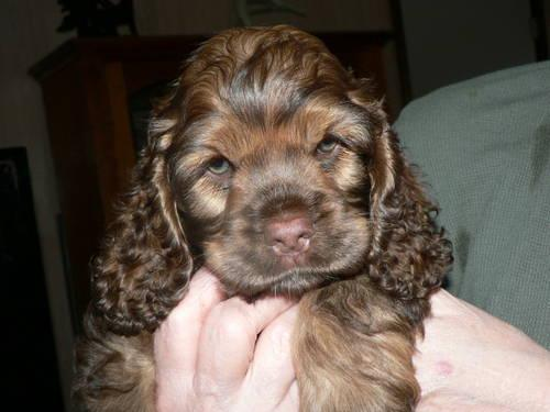Akc Chocolate American Cocker Spaniel Puppy For Sale In Grand Marsh Wisconsin Classified Americanlisted Com