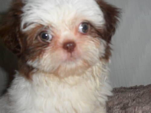 AKC CHOCOLATE AND WHITE FEMALE IMPERIAL SHIHTZU PUP
