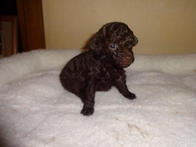 AKC chocolate female teacup poodle puppy for Sale in ...
