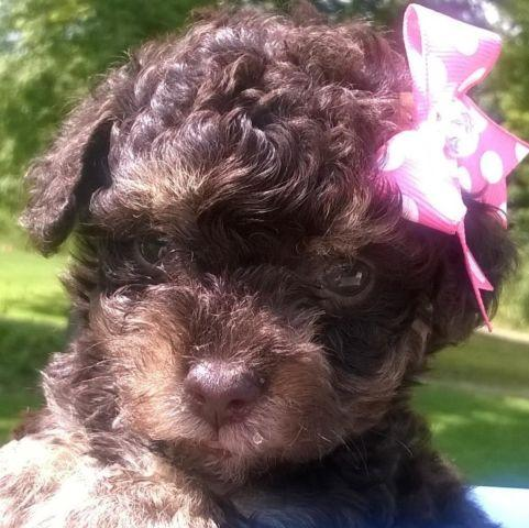 Poodle Puppy For Sale In Wayland New York Classifieds Buy And
