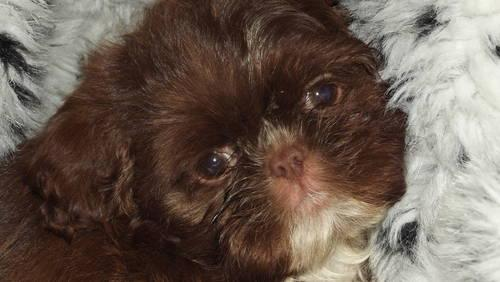Akc Chocolate Imperial Female Shih Tzu Puppies - 12