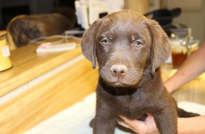 AKC Chocolate Lab Puppies 8 Wks old for Sale in Phoenix, Arizona ...