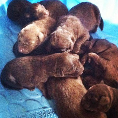 AKC Chocolate Lab Puppies for Sale in Raleigh, North