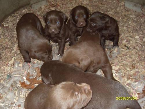 Akc Chocolate Lab Puppies Just Born April 10Th 3 Males 5 -2835
