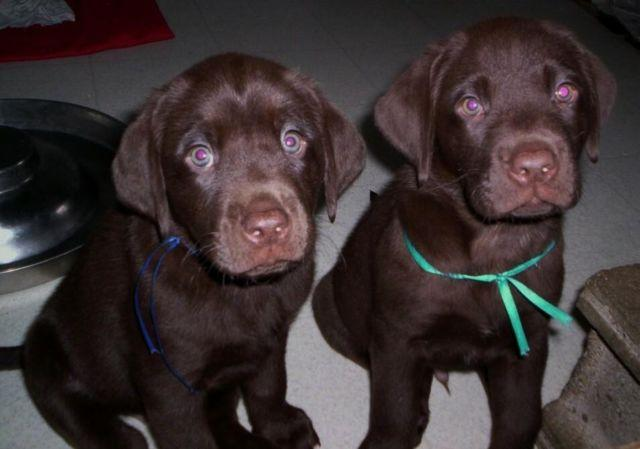AKC Chocolate Lab Puppies - Ready Now