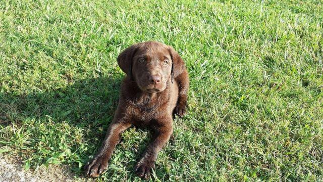 AKC Chocolate Lab Puppies With 28 Titles In Hunting And In ...