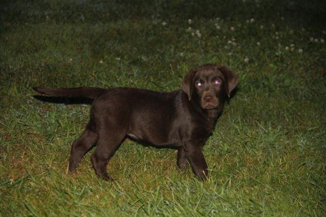 Chocolate Or Silver Labrador Puppies For Sale In Ohio Classifieds