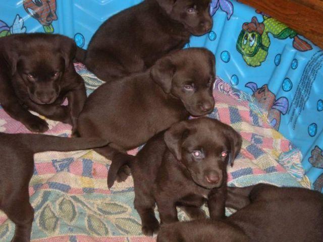 Akc Chocolate Labrador Retriever Puppies Male Female For Sale