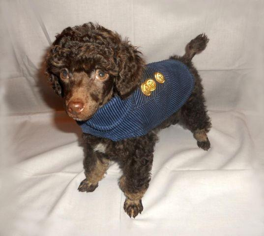 Akc Chocolate Phantom Toy Poodle Puppy For Sale In Columbia