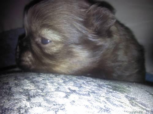 Shih Tzu Puppy Pets And Animals For Sale In The Usa Puppy And