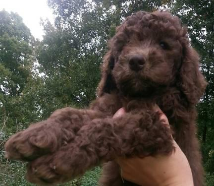 Akc Chocolate Standard Poodle Puppy Female Born August