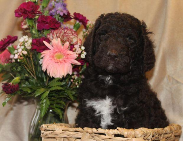 AKC Chocolate Standard Poodle Pups
