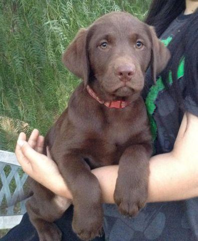 Chocolate labs for sale in sacramento ca