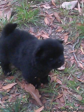 Akc Chow Chow Puppies For Sale In Columbus Georgia Classified