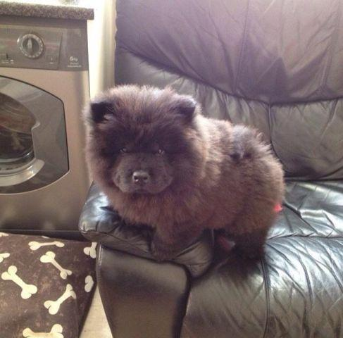 Akc Chow Chow Puppies For Sale In Palacios Texas Classified Americanlisted Com