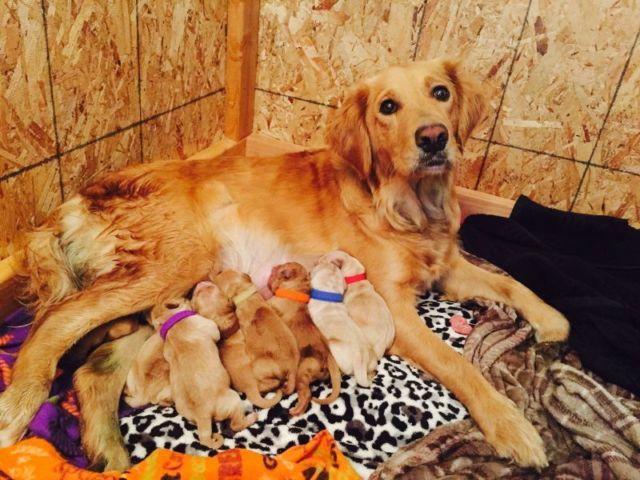Akc Christmas Dark/Red Golden Retrievers