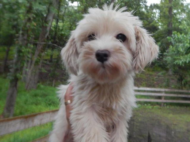 AKC/CKC Adult Small Breed Dogs Need Homes! For Sale In