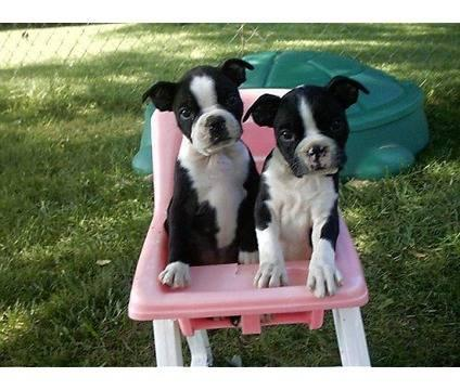 Iowa Dog Breeders Puppies For Sale - PuppyDog Web