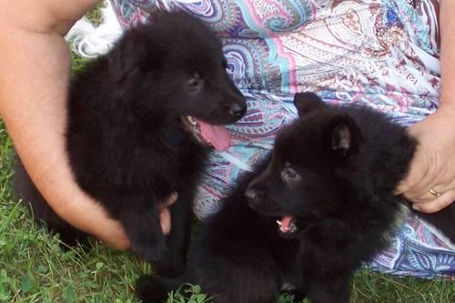 AKC & CKC GERMAN SHEPHERD PUPPIES