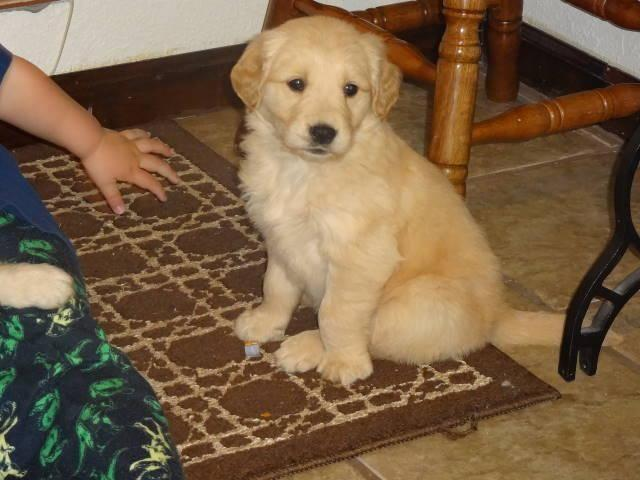 Akcckc Golden Retriever Puppies 8 Weeks Old Ready To Leave For