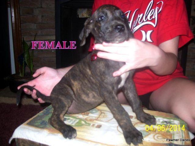Akc/Ckc Great Dane Puppies