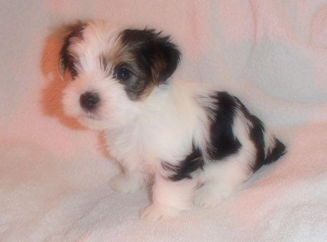 Akcckc Male Parti Yorkie Puppy For Sale In Bow Kentucky Classified