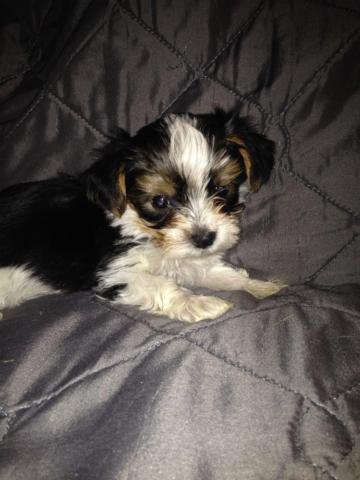 Akcckc Parti Yorkie Puppies For Sale In Bow Kentucky Classified