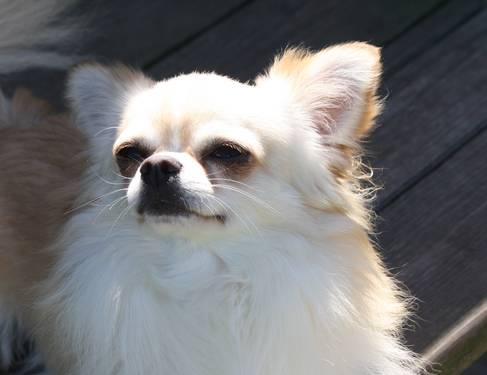 AKC, CKC, Pedigreed Long Haired Chihuahua Male For