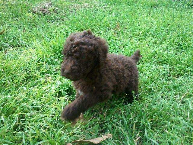 Akcckc Rare Moyen Poodles Puppies Holding W