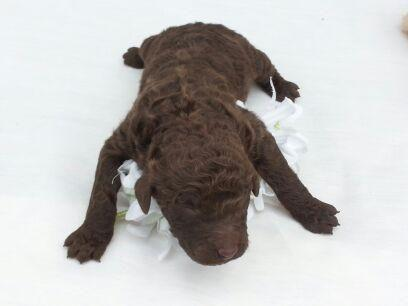 AKC/CKC - ROYAL SIZE * CHOCOLATE* STANDARD POODLE * ONLY ONE *
