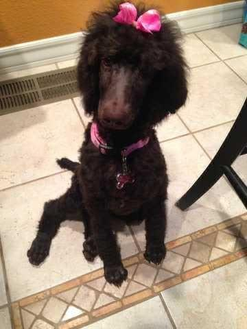 Akcckc Standard Poodle Puppies Due Mid March For