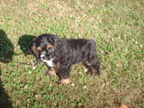 AKC cocker spaniel male-