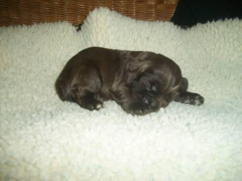 Akc Cocker Spaniel Puppies For Sale In Burlington North Carolina