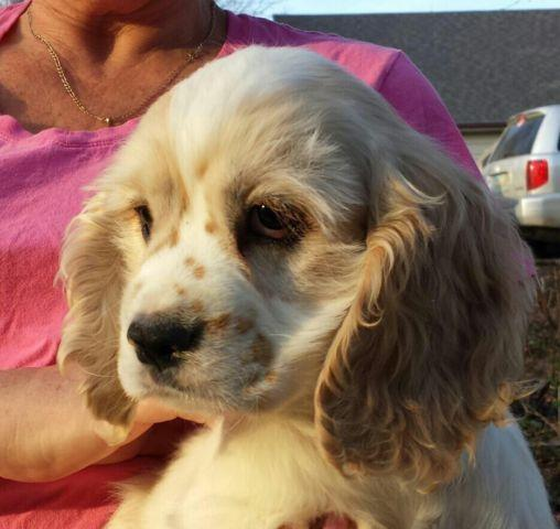 Cocker Spaniel Puppies For Sale In Ohio Classifieds Buy And Sell